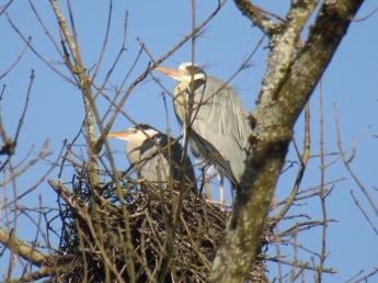 die Reiher haben ihre Nester bezogen-Ich liebe es diesen anmutigen Tieren zuzuschauen